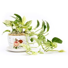 Lovely Money Plant in Cup