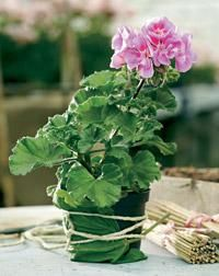 Felix. Pelargonium x hortorum. Kotipelargonit eli vyöhykepelargonit ovat yleisin pelargoniryhmä   Tunne pelargonit   Koti ja puutarha