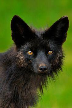 "configuracion: "" archangvl: "" Silver Fox | More "" Wait, it's brown/black indeed o_o """