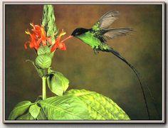 """The """"Doctor"""" Hummingbird, Jamaican national bird."""