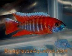 Aulonocara jacobfreibergi Eureka Red  regular