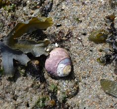 Black turban snail - Tegula funebralis | Shooting From The Hip