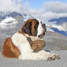 Saint Bernard <3 Big Dogs, I Love Dogs, Dogs And Puppies, Big Animals, Animals And Pets, Dog School, St Bernard Dogs, Cute Creatures, Jack Russell Terrier
