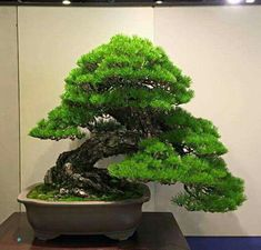 Growing bonsai from their seeds is essentially growing a tree from its seed. Get tips and guidelines on how to grow your first bonsai from its seed phase. Bonsai Tree Care, Bonsai Tree Types, Indoor Bonsai Tree, Bonsai Trees, Air Plants, Indoor Plants, Pine Bonsai, Miniature Trees, Plant Needs