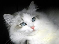 Ragdoll Kittens For Sale - Kittens