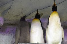 They grow up so fast: King penguin chicks nearing the same height as their parents Derek White, King Penguin, Mario And Luigi, Penguins, Animals, Animales, Animaux, Penguin, Animal