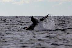 Humpback whale waving goodbye, Whale Watching Photo Safari by Vallarta Adventures  |   Puerto Va
