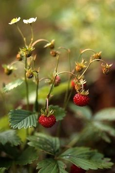 • Black Swan • Strawberry Garden, Fruit Garden, Garden Plants, Beautiful Fruits, Beautiful Flowers, Lund, Fruit Love, Camping Aesthetic, Blackberry