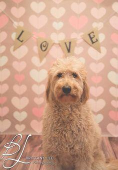 BLphotographs.com #goldendoodle #valentines