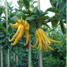Dag 117/365 Bewonderen citrusplanten