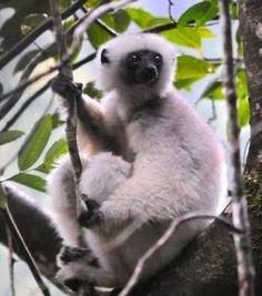 """La survie des Sifaka soyeux sérieusement menacée    Un chercheur américain tente actuellement de protéger une des espèces de mammifères les plus rares du monde, les lémuriens blancs, aussi connus sous le nom de Sifaka soyeux.    Baptisés les """"fantômes de la forêts"""", car ils semblent traverser les arbres tels des ombres blanches, les Sifaka soyeux ont élu domicile dans les montagnes du Nord-Est de l'île de Madagascar."""