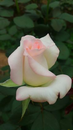 My absolute favorite color rose ever.
