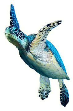 Venez en savoir plus sur la tortue verte ! There are more than 7 species of marine turtles all over the world: the green turtle is one of them. Sea Turtle Painting, Sea Turtle Art, Turtle Love, Green Turtle, Cute Turtles, Baby Turtles, Sea Turtles, Beautiful Sea Creatures, Animals Beautiful