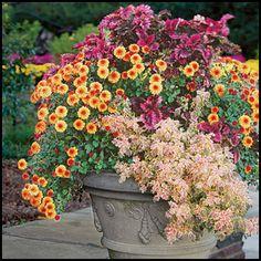 #Fall #Chrysanthemums.