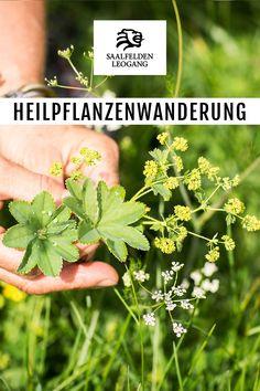 Für jedes Wehwehchen ist ein Kraut gewachsen. Erhalten Sie bei der Heilpflanzenwanderung in Saalfelden Leogang Einblick in die Natur und lernen Sie wildwachsende heimische Pflanzen zu erkennen und zu sammeln sowie Heilwirkungen und Anwendungsmöglichkeiten.