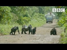Gorilla Stops Traffic, Confusing Film Crew - Until They See A Sudden Movement In Bushes That Shows His True Intentions Boss Show, Cave Bear, Silverback Gorilla, Zebra Crossing, Bear Girl, Congo, Panda Bear, Pet Birds, Bbc