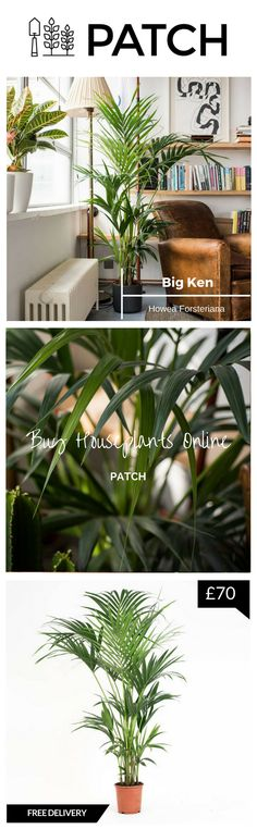 Big Ken, the Kentia Palm, is my favourite house plant/indoor plant. A plant for the bedroom, kitchen, bathroom as well as outdoors. Whether inside or outside your home or office, Patch helps you choose the best plants for you, delivers them to your door and helps you look after them. Click through to our website to transform your space into an urban garden and follow @HelloPatch on Instagram for urban gardening inspiration!