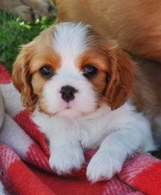 Adorable and Cute Little Baby Cavalier King Charles Spaniel Puppy - Aww!