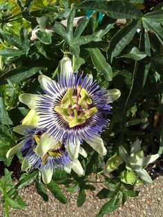 Passion flower. Passiflora caerulea Exotic looking flowering vine. Part to full sun. 30' tall. Blooms summer through fall.