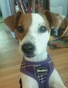 Paisley Rose, AKA Rosie, my sweet, funny, quirky Jack Russell.