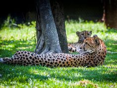 Great family outing where kids can watch alligator feedings, snake shows & their favorite wild animals at this SW FL destination. Naples Zoo, Naples Florida, Animals Images, Wild Animals, Marco Island Florida, Cheetahs, Family Outing, Florida Vacation, Natural World