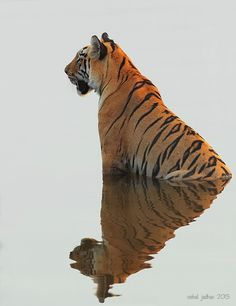 """Tigeress"" - photo by Vishal Jadhav, via 500px;  in Tadoba, India"