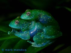 Slope Snouted Glass Frog, Cochranella euknemos; Photo Credit: Mark Mandica