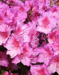 Pink Azalea - Italy in spring.