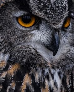 Raptor - Great Horned Owl in the woods of Canada.- title Circles of Fire