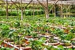 Greenhouse strawberries