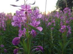 Flora, Plants, Fireweed, Wild Plants, Flowers, Nature