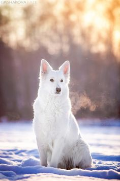 Swiss Shepherd. My husband said this he wants for his next dog. Will see if any for rehoming. our Belgium Shepherd had 3 homes before us and turn out a beautiful pet.