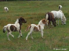 I love miniature horses <3