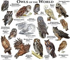 Fine art illustration of some of the species of owl native to North America Owls of North America Burrowing Owl, Barred Owl, Beautiful Owl, Animals Beautiful, Unique Animals, Owl Bird, Pet Birds, Elf Owl, Western Screech Owl