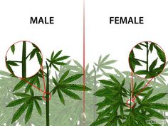 If you are growing marijuana for medicinal purposes, you need to know how to identify female and male marijuana plants. Almost all growers prefer female marijuana plants because only females produc…