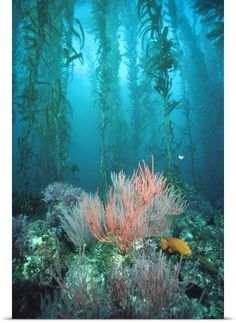 "Underwater photography wall art - ""Giant Kelp forest, Garibaldi Channel Islands National Park, California"" from National Geographic by Flip Nicklin available at Great BIG Canvas. Underwater Photography, Landscape Photography, Photography Tips, Street Photography, Marine Photography, Portrait Photography, Nature Photography, Fashion Photography, Wedding Photography"