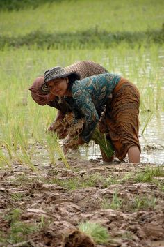 women farmers planting rice, Cambodia