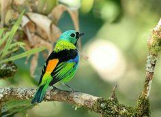 Prachttangare - Green-headed Tanager (Tangara seledon) in Brazil by Lindolfo Souto.