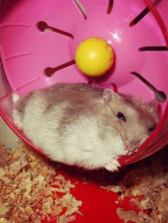 """I love you, Wheelie. Cute Baby Animals, Animals And Pets, Funny Animals, Super Cute Animals, Robo Dwarf Hamsters, Funny Hamsters, Hamster Care, Baby Hamster, Russian Dwarf Hamster"