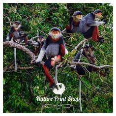 Primates On The Edge: Our prints of the endangered red shanked douc family in Vietnam are now on sale. Pick up a bargain at http://ift.tt/2zMfbmC Up to 30% off selected prints at the Nature Print Shop. Sale ends soon. Happy shopping! #etsy #shop #giftidea #print #gift #nature #natureprint #animals #timplowdenphotography #promotion #etsyshop #freeshipping #wildlife #wildlifephotography #wildlifephotos #wildlifepics #naturephoto #naturephotography #naturephotos #douc