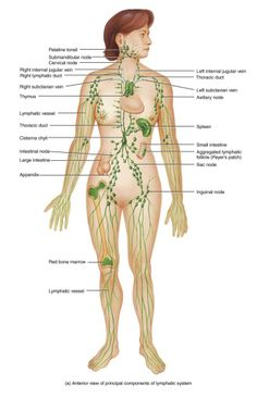 Lymphatic System! Look at all those nodes! Lymph body brushing.