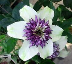 It is very important when planting clematis to plant them deeper than they are when purchased.  You want to cover up at least one set of leaves if not two.  You do not need to remove those leaves just plant deep.  This allows the plant to shoot from the nodes under the ground and you will obtain a bushier plant.  Also if the plant is ever broken off at ground level it will not be lost as it will shoot up from under the ground.
