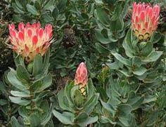 Protea Eximia plants          Broad-leaved Protea        Breeblaarsuikerbossie               3 m         S A no 88,3