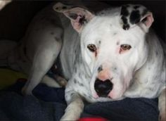 Cosmo is an adoptable American Bulldog Dog in Lodi, CA. Cosmo is a special needs dog and will need a special family to adopt him. Cosmo is deaf, and will need a family who has experience working with ...