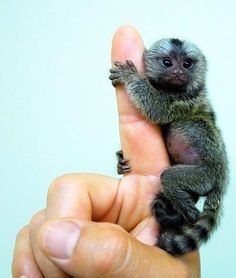 Pygmy Marmoset. Not even kidding. @Rachel Naar - I feel like you'll understand my desire for this adorable little creature lol