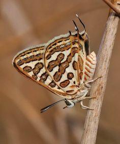 Beautiful Levantine Leopard Butterfly!