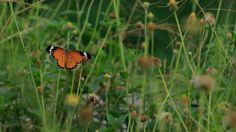 the most beautiful butterfly for you /Flowers with butterflies
