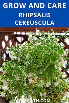 Rhipsalis Cereuscula. Types Of Succulents, Succulent Care, Herbs, Plants, Cactus, Herb, Plant, Planets, Medicinal Plants