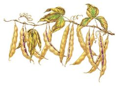 Learn the ins and outs of growing dry beans and peas, including lima beans, runner beans, tepary beans, field peas and more. You'll be surprised to learn that growing beans is a real snap.