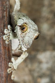 Mallory - Uroplatus s. sikorae | Flickr - Photo Sharing!